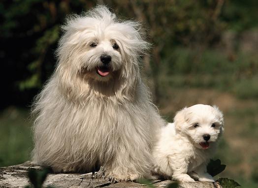 Lil' Dog Whisperer: Coton de Tulear - Playful Pup