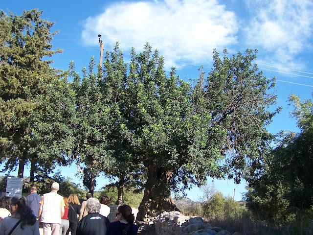 Panagia Kera Kilisesi yanında anıtsal keçiboynuzu ağacı