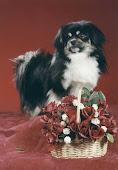 egy gyönyörü tibeti kutya