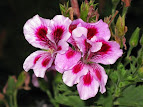 Pelargonium crispum randy