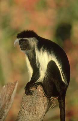 King colobus