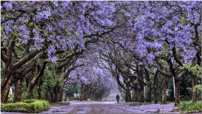 Jacaranda Tree Pretoria In South Africa Never Ever Seen Before