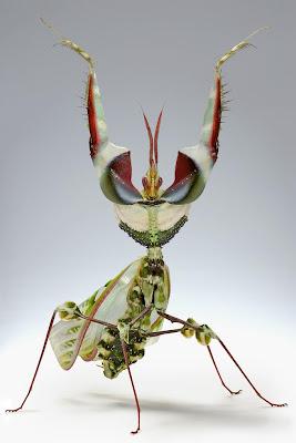 Idolomantis diabólica, Mantis de la Flor del Diablo
