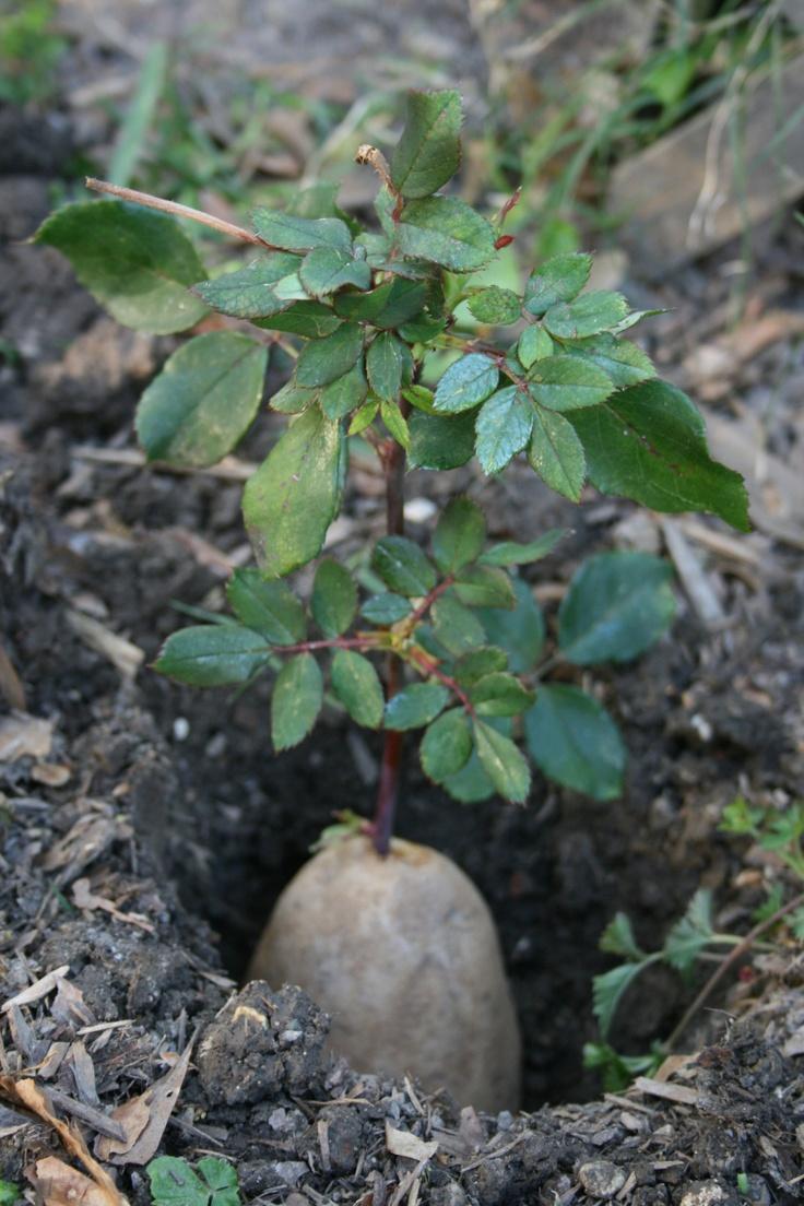 Выращивание розы из черенка - делаем правильно 41