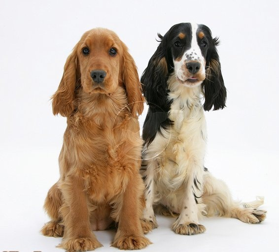 Golden English Cocker Spaniel Puppy HD wallpaper
