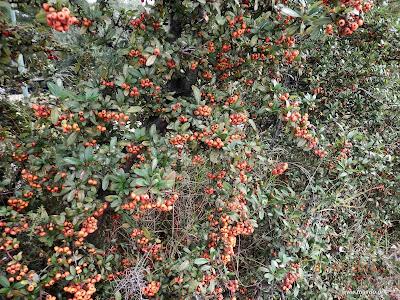 Πυράκανθος-Cotoneaster pyracantha spach