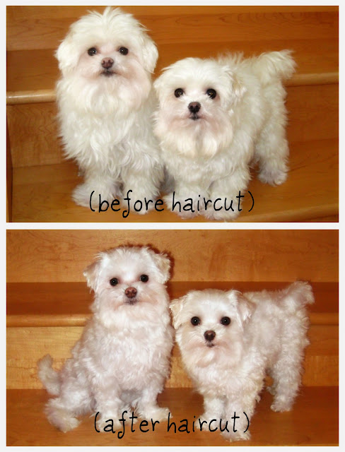 Dog Wallpaper Maltese Puppy Cut Before And After Desktop Background
