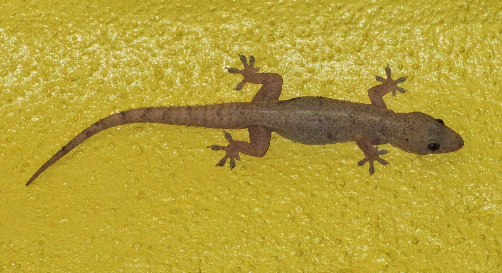 cannundrums: tropical house gecko