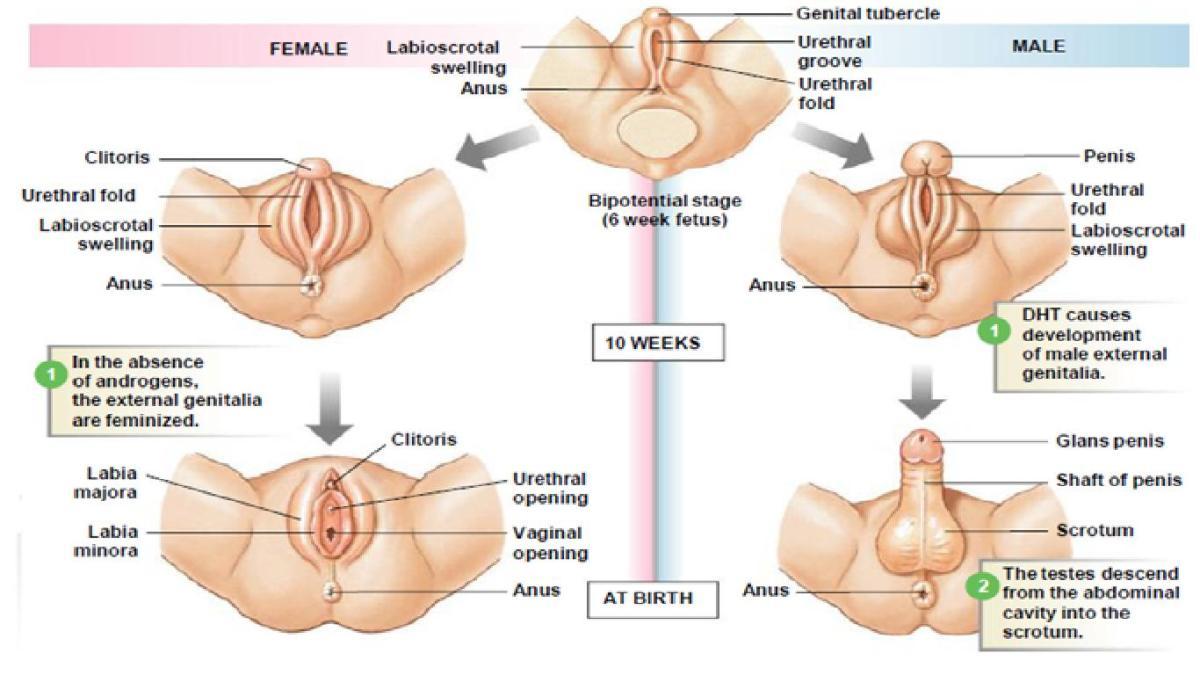 Hormonas y diferenciación sexual : 2.4 Desarrollo de los órganos ...