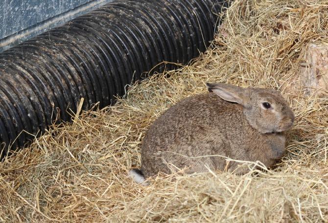 Unwanted rabbits