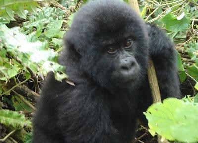 A wild juvenile Mountain Gorilla in Bwindi, Uganda