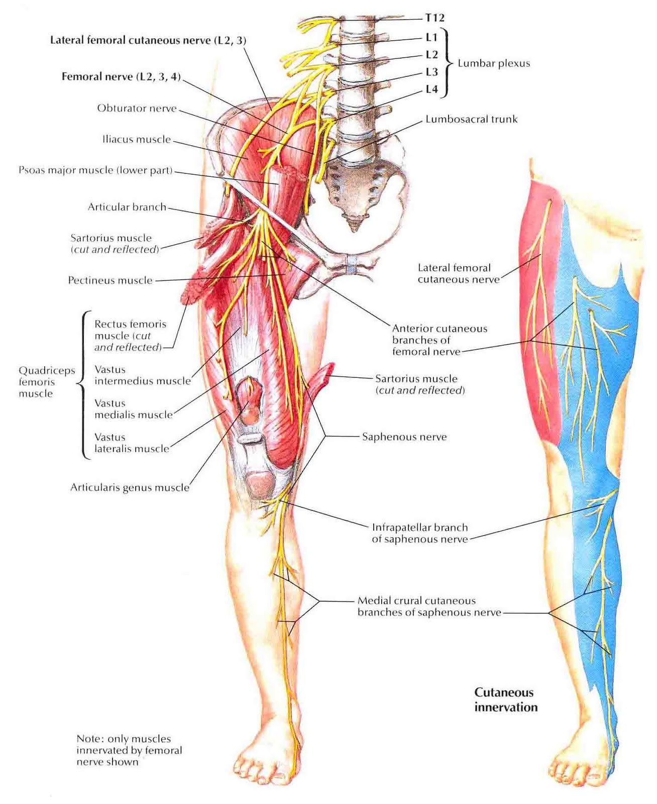 femoral nerve treatment – citybeauty, Muscles