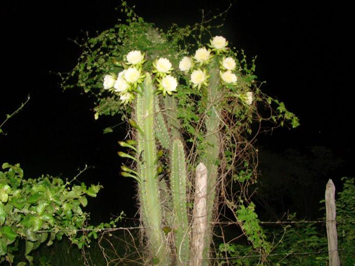 Caatinga/ mandacaru em flores