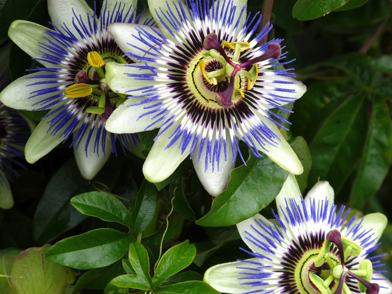 flowers for flower lovers Passion flowers