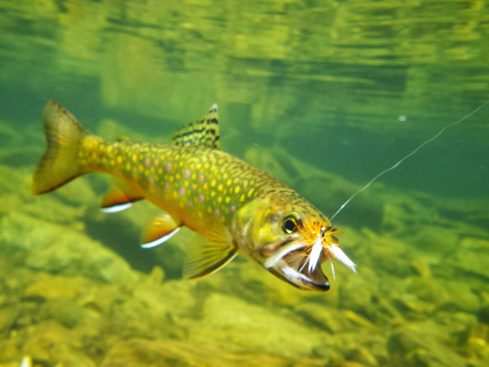 Keystone predator fly fishing january 2014 for Trout fishing pa
