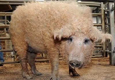 Babi Berbulu Domba