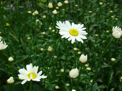 gastronomic gardener This is a picture of shasta daisy in a midwest garden