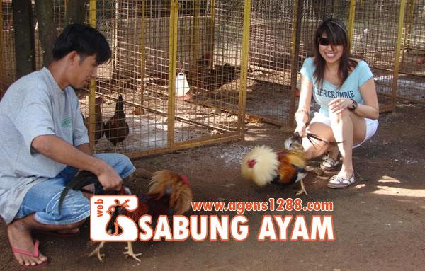 Hasil Pertandingan Arena AR3 Sabung Ayam S1228.net 10 November 2015