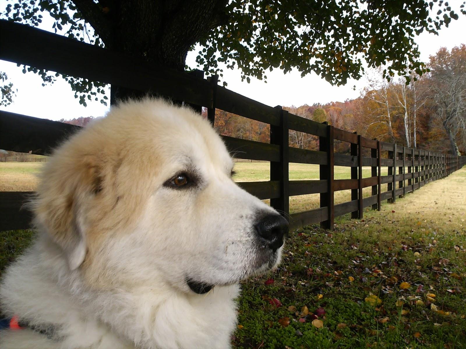 Resultado de imagen para great pyrenees dog, in the laptop