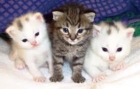 Ventajas y desventajas en la adquisición de un gato