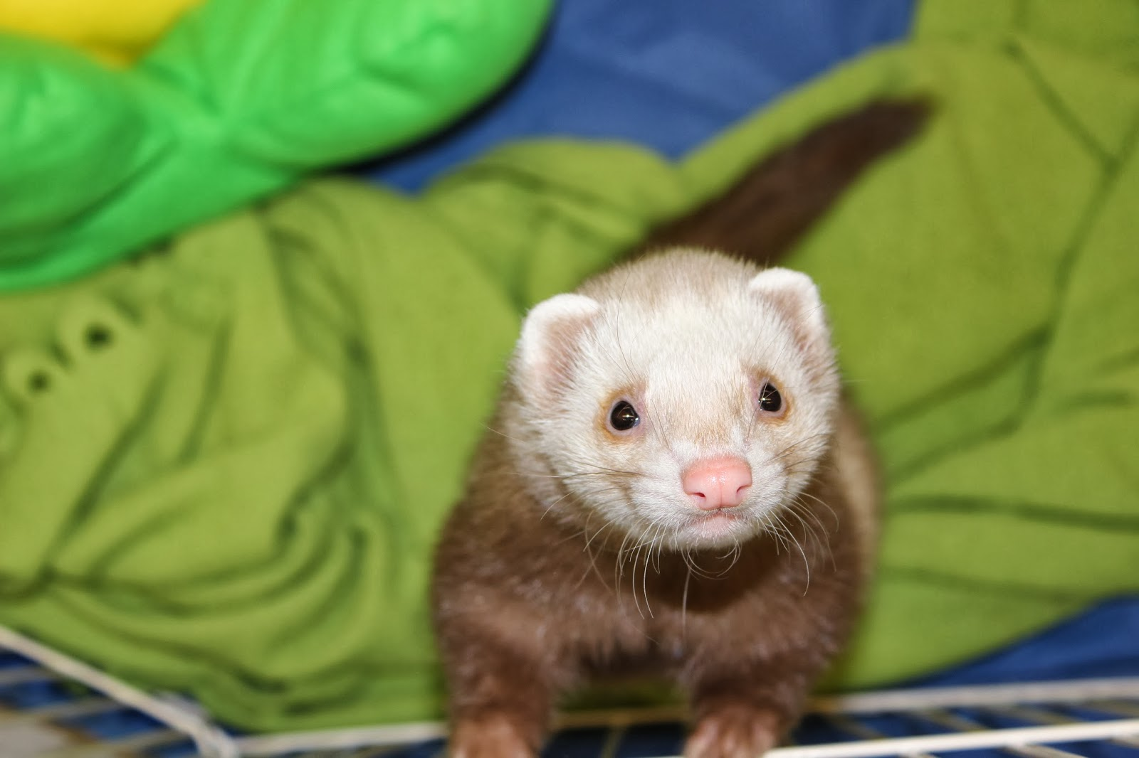 frettinäyttely+ferret+show