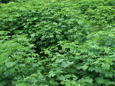 Estilosante conhecido popularmente como Mata-pasto ( Nome científico: Senna uniflora)