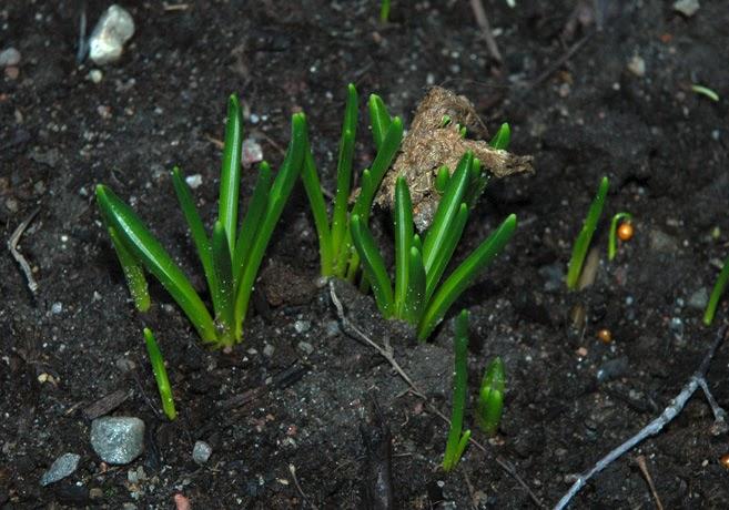 Gröna blad från vårlökar.