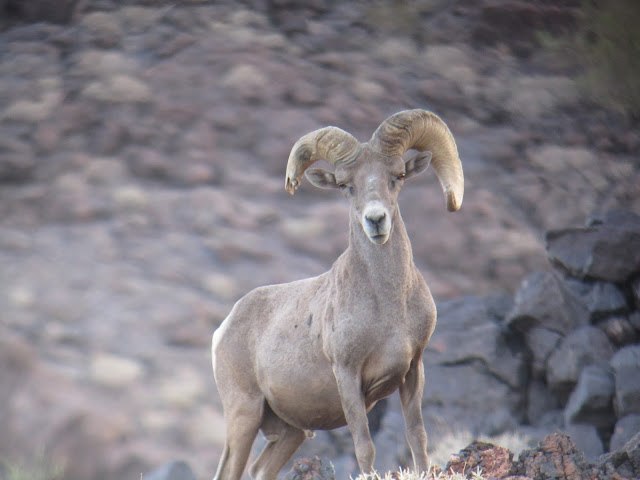 AZ+Desert+Bighorn+Sheep+Scouting+Pics+by+Colburn+and+Scott+Outfitters+3.JPG