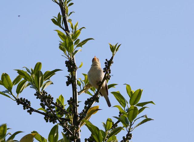 Melodious Warbler - West Midlands