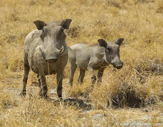 Warthog pictures