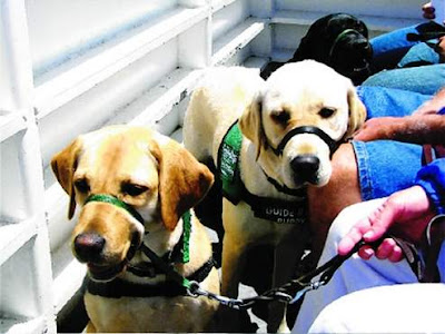black and yellow Lab puppies ride the SF Ferry