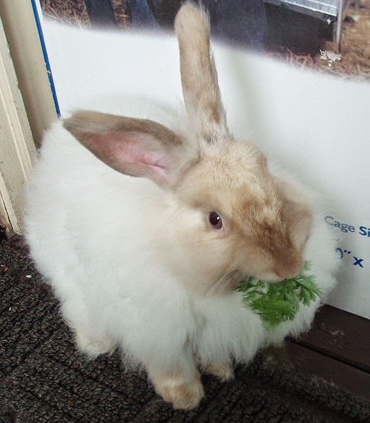 french angora rabbit