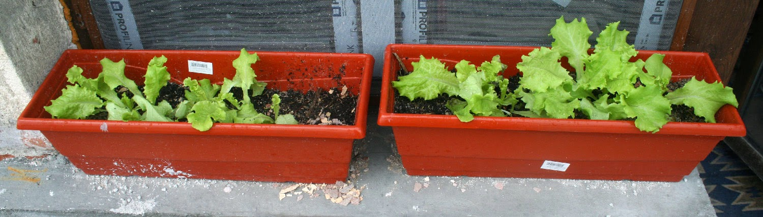 Lettuce is growing well on the windowsill