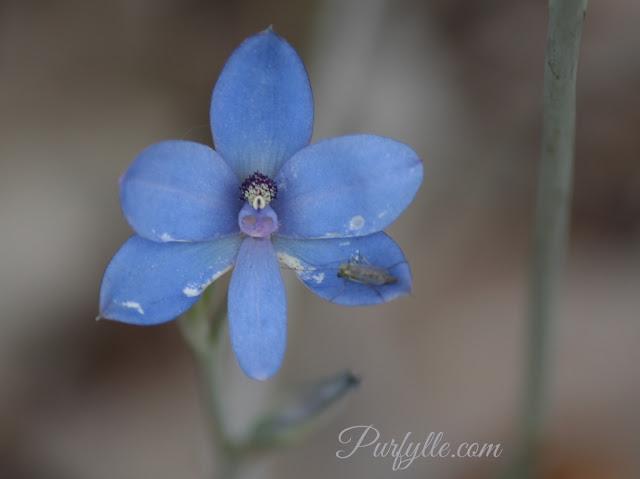 Thelymitra crinita a.k.a Blue Lady Orchid