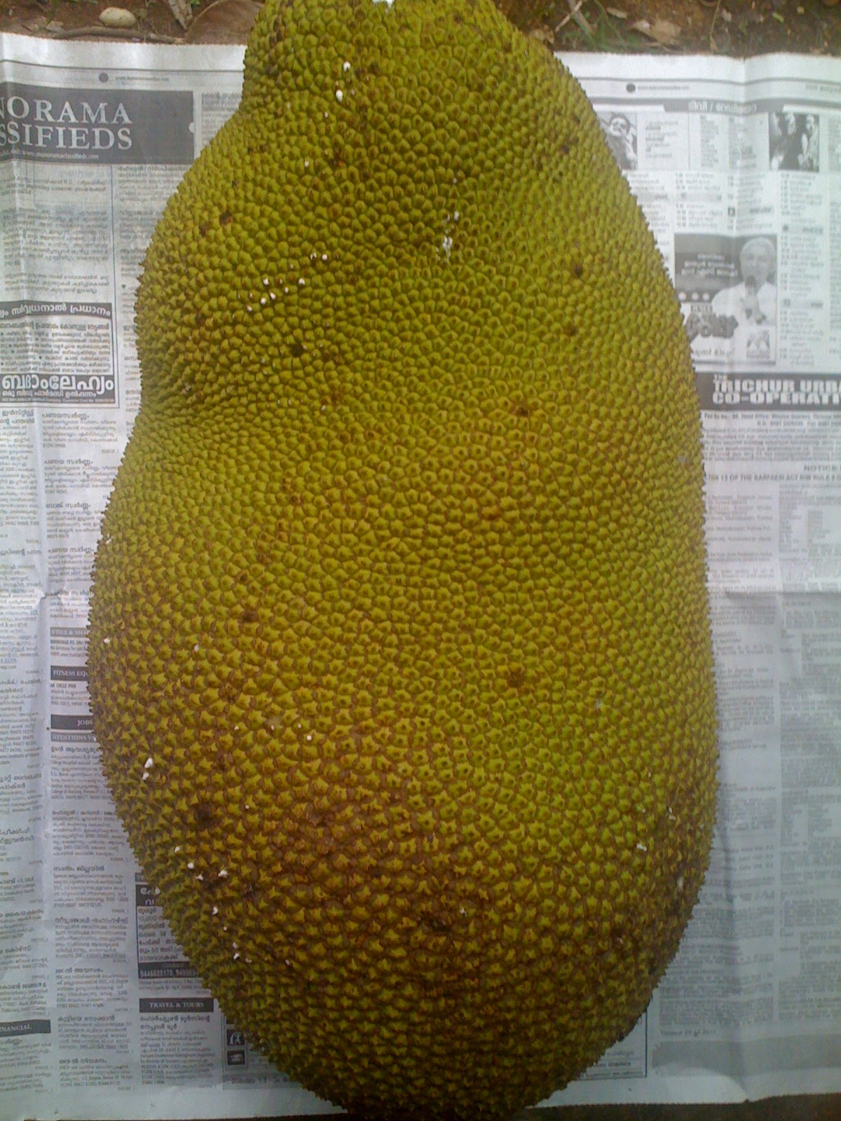 how to take care of jackfruit tree