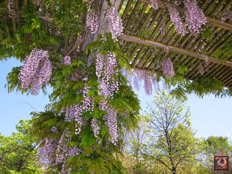 Wisteria sinensis (Glicina, visteria china, flor de la pluma)