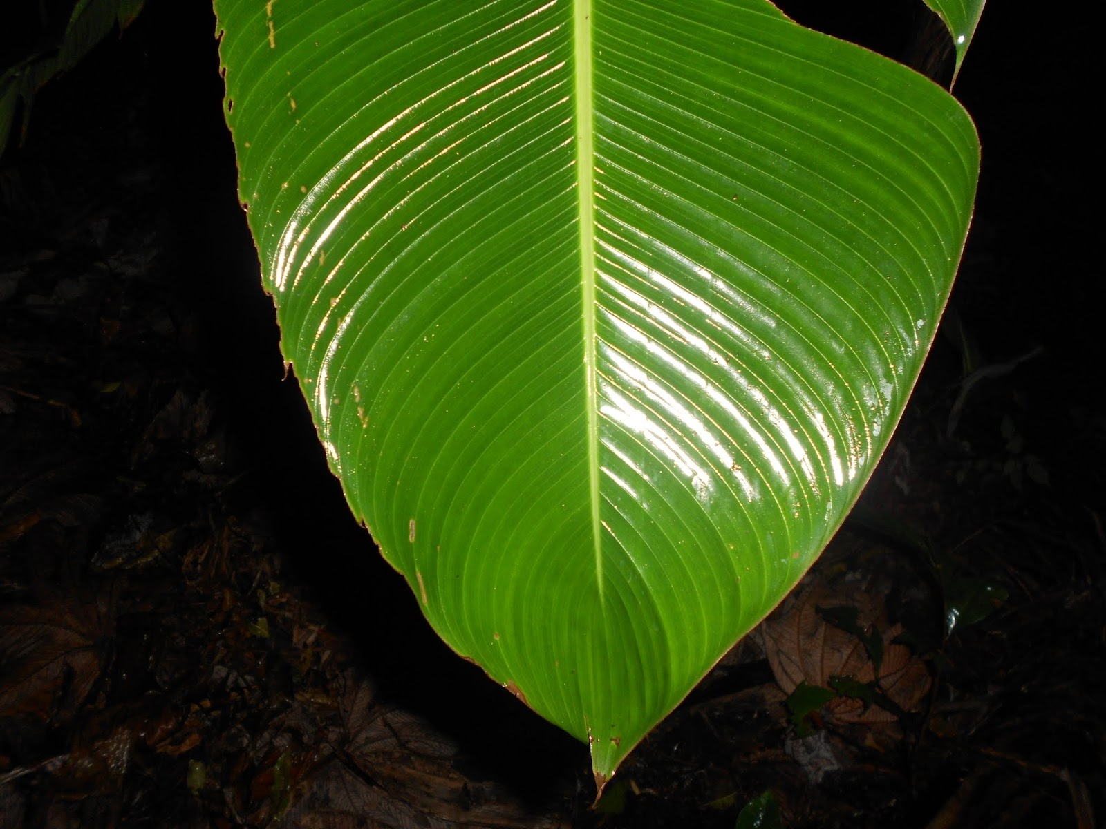 shiny leaf at night in rainforest leaf template rainforest leaf
