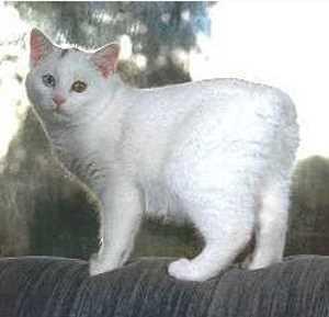 orange scottish fold kitten