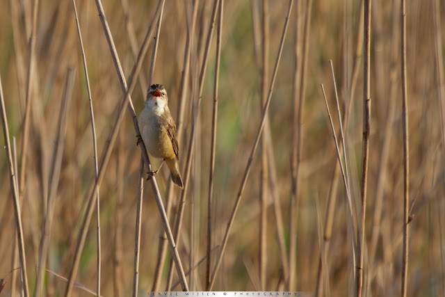 Rietzanger - Sedge Warbler - Acrocephalus schoenobaenus