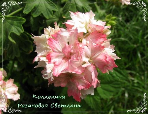 Форум Клуба любителей пеларгоний Это часть моей души-2 (Татьяна)