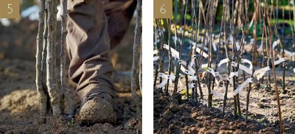 Garden tips on HOW TO PLANT IN STOCK BEDS. Bare-root plants