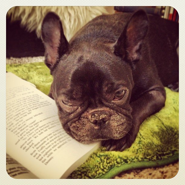 frenchie reading
