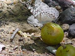 Borboleta no fruto do imbuzeiro