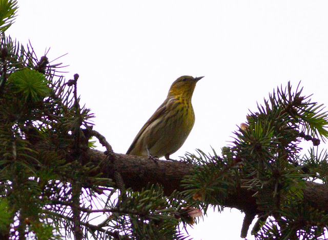 Cape May Warbler - Central Park, New York