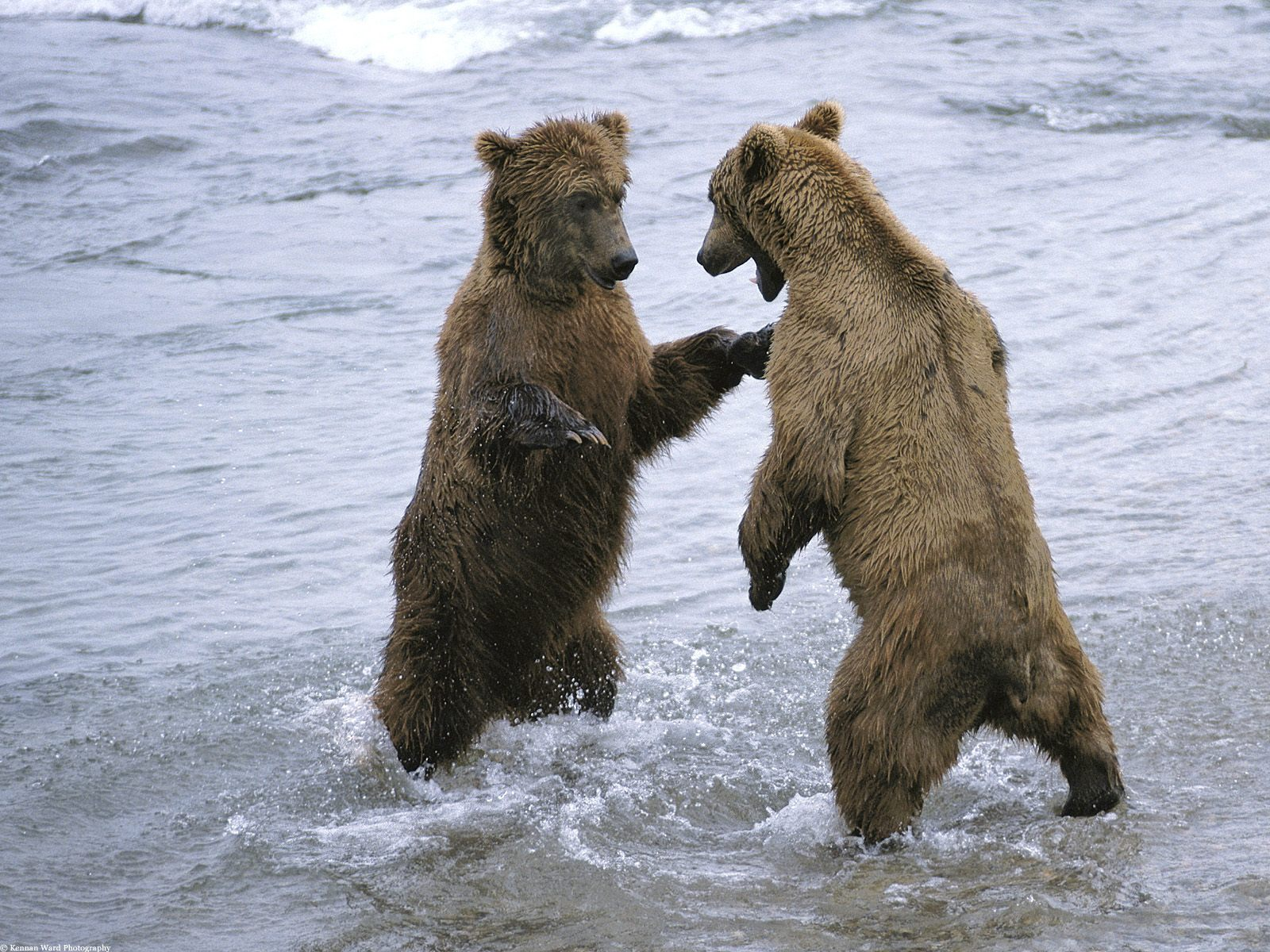http://2.bp.blogspot.com/-pmtvdtpS0Pc/Tcv8lr3uxOI/AAAAAAAAMyg/HPZJL5iqums/s1600/bear-boxing-1600-x-1200-animal-wallpaper-desktop.jpg