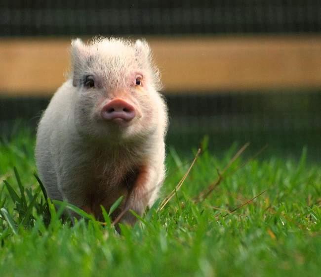 Worlds cutest piglet - photo#2