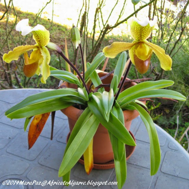 orchids from Madeira