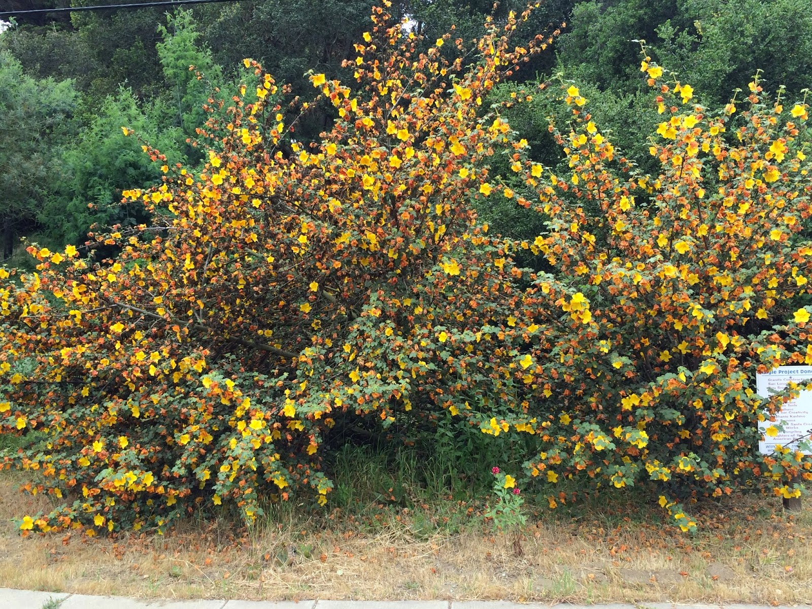 Trees Of Santa Cruz County Fremontodendron California