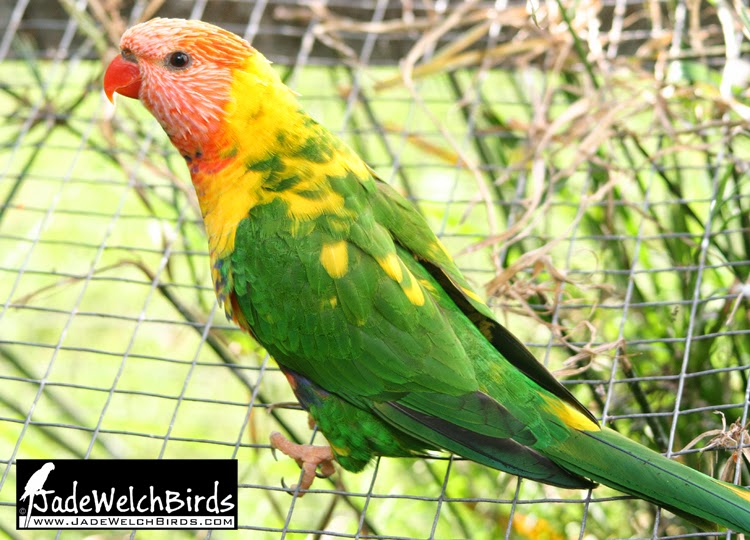 rainbow lorikeet df pied jadewelchbirds jade welch