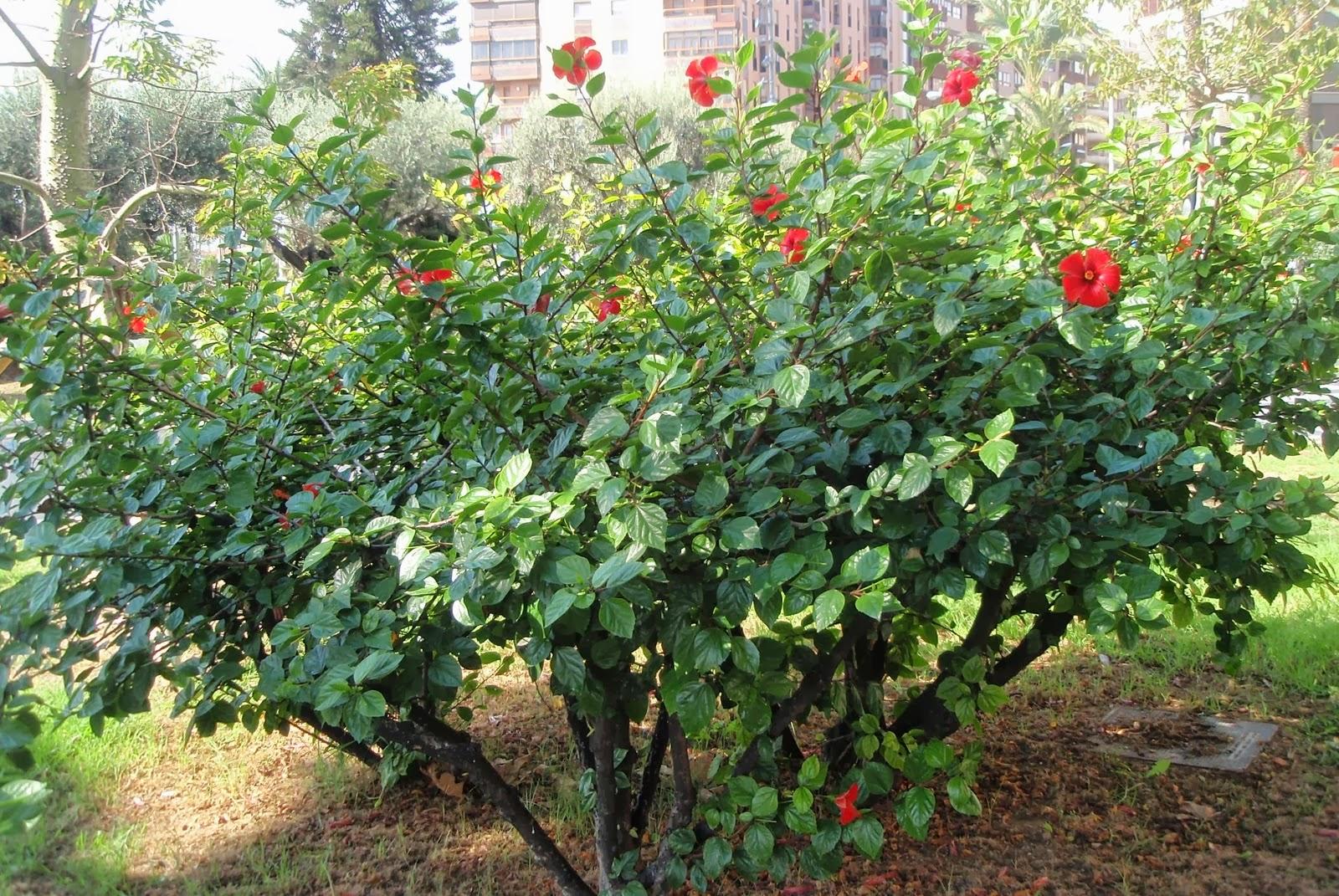 Peces y plantas ornamentales hibiscus rosa sinensis for Hibiscus arbol